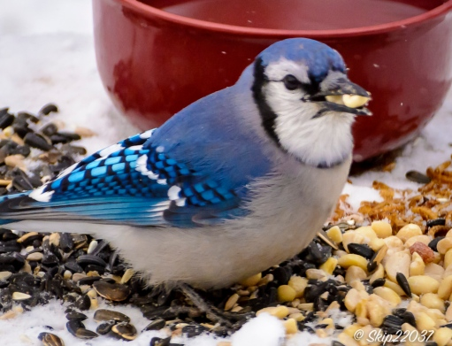 A happy bluejay