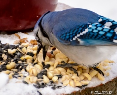 A hungry bluejay