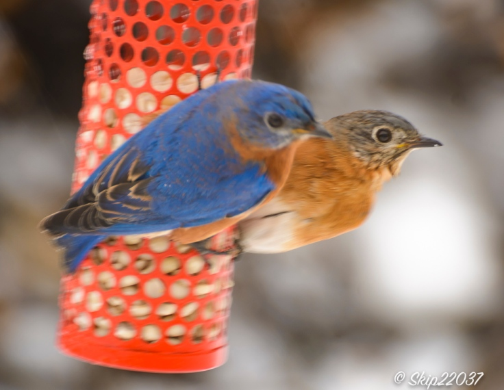 2017_01_10_places-backyard-buffet_back-yard-birding_0115