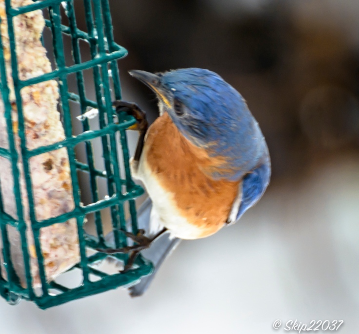 2017_01_10_places-backyard-buffet_back-yard-birding_0125