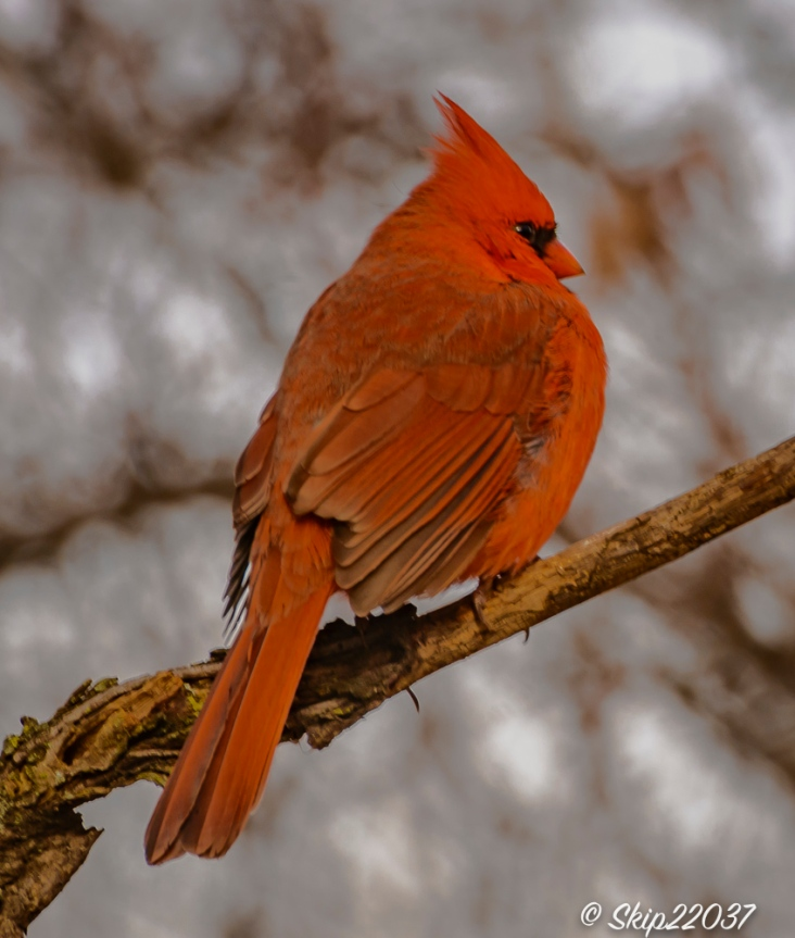 The northern cardinal was willing to pose.