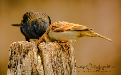 Red-winged blackbird and friend