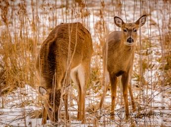Browsing deer