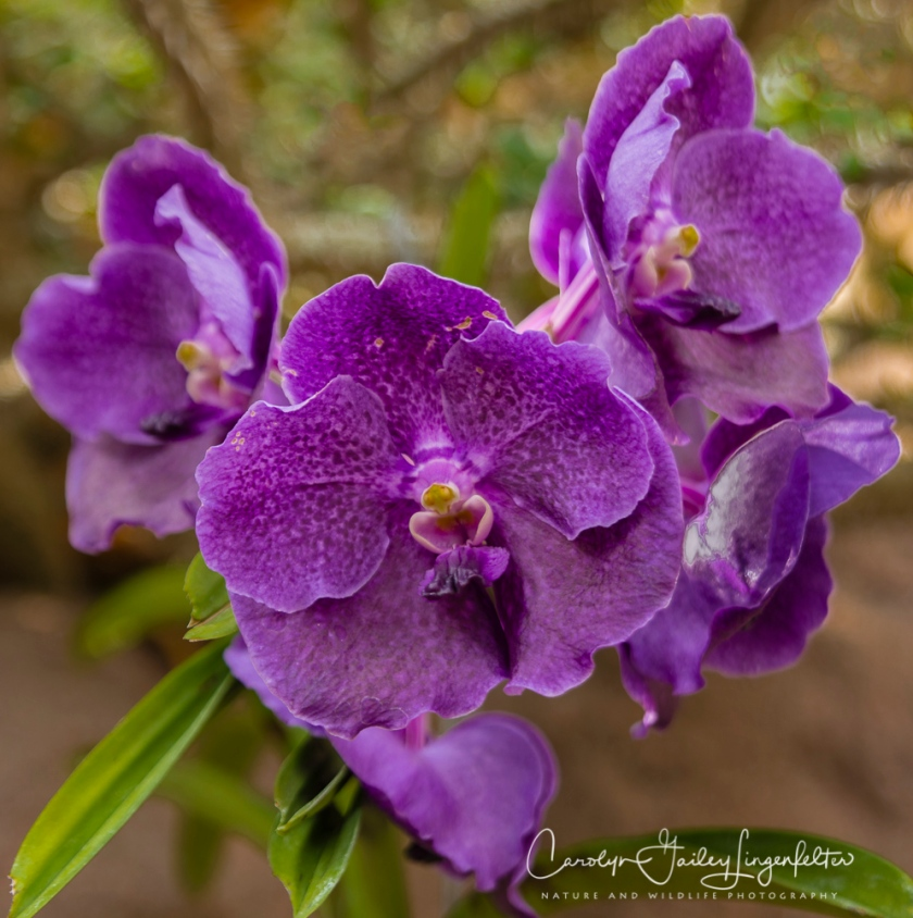 2017_02_24_places_botanical-gardens-orchid-mania_0067-edit