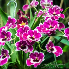 2017_02_24_places_botanical-gardens-orchid-mania_0102-edit