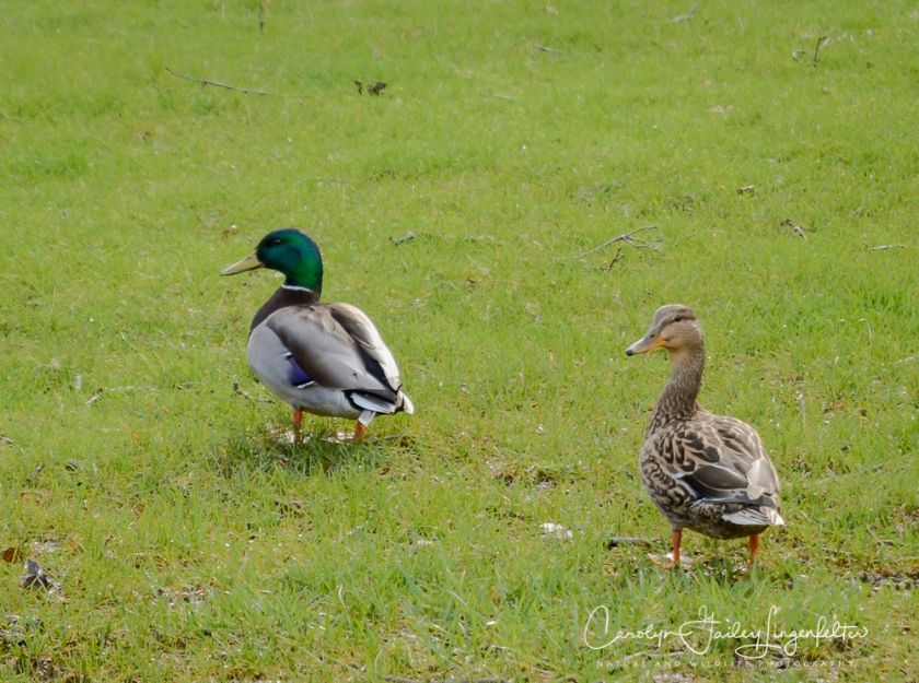 2017_04_05_Back yard birding_003