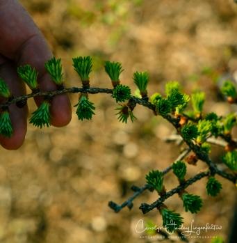 Larch twig