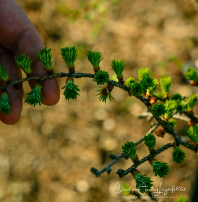 Larch twig