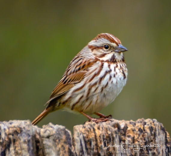 Song sparrow (although maybe not)