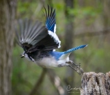 The bluejay taking off