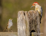 The red-bellied woodpecker chatting with a white-throated sparrow