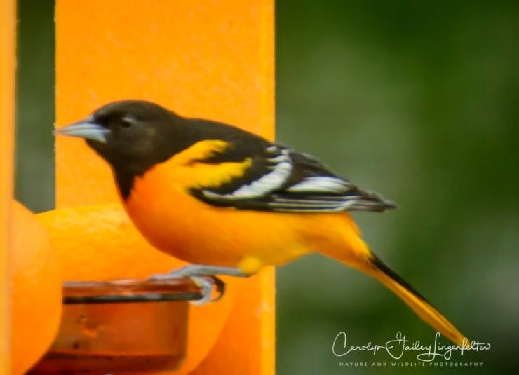 2017_05_04_backyard birding_back yard buffet_0026