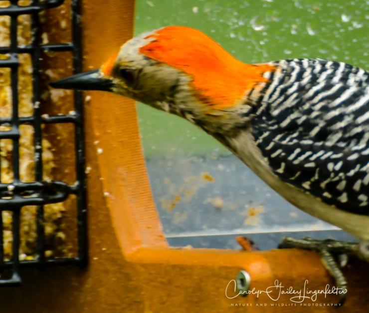 2017_05_26_Places_Backyard birding_0040