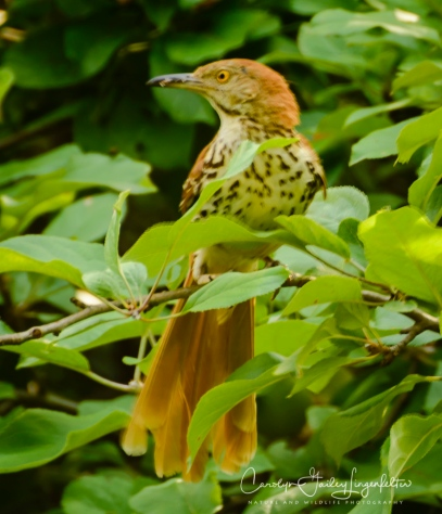 Another photographer pointed out this brown thrasher to me.