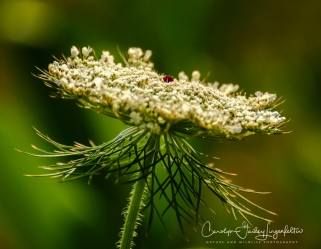 Queen Anne's lace (I think)
