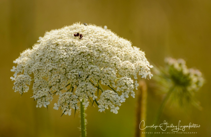 Queen Anne's lace along the trail