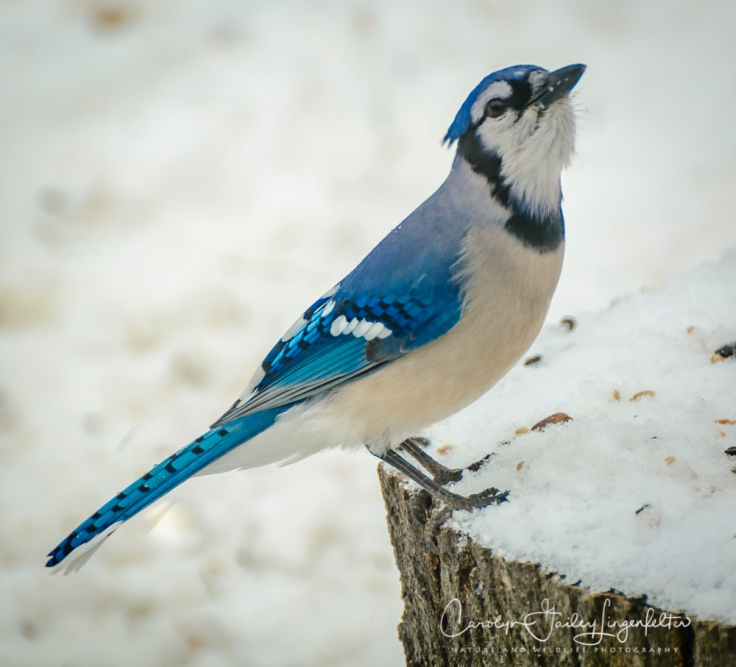 2018_02_10_Winter 2018_Backyard birding_0015