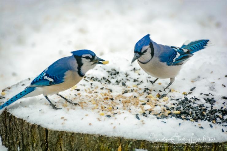 2018_02_10_Winter 2018_Backyard birding_0018