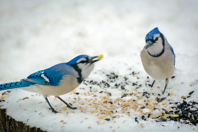 2018_02_10_Winter 2018_Backyard birding_0020