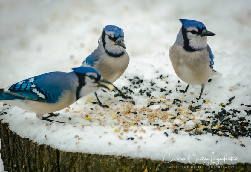 2018_02_10_Winter 2018_Backyard birding_0025