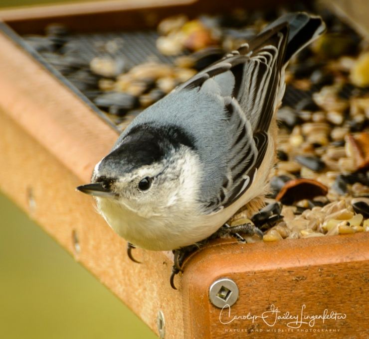 2018_02_15_Backyard birding_Rain-soaked morning_0041