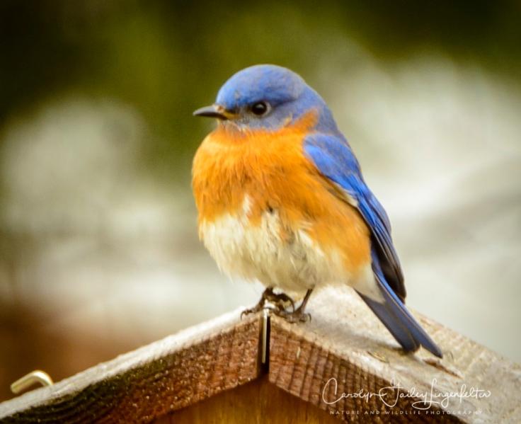 2018_03_07__Spring_Backyard birding_0018