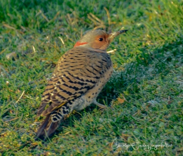 2018_04_19__back yard birding_0004-4