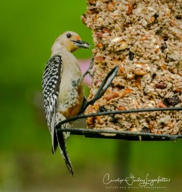 2018_06_01__Backyard birding_0015