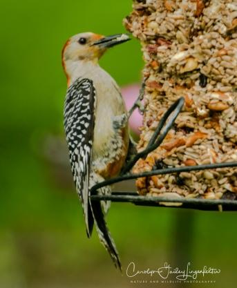 2018_06_01__Backyard birding_0016