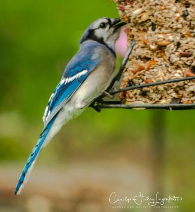 2018_06_01__Backyard birding_0017
