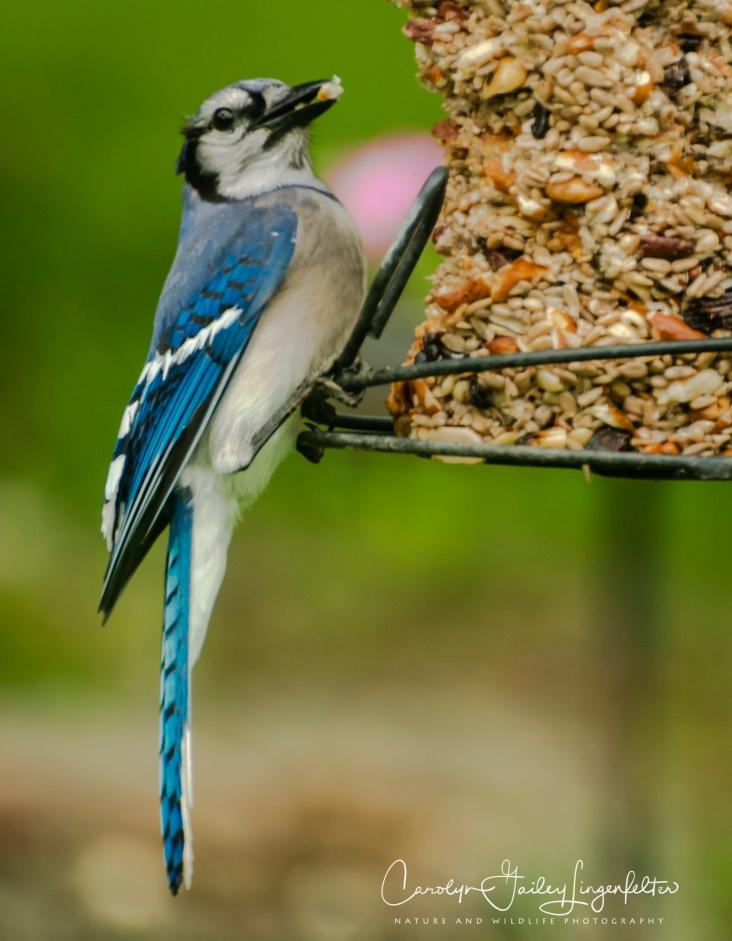2018_06_01__Backyard birding_0019