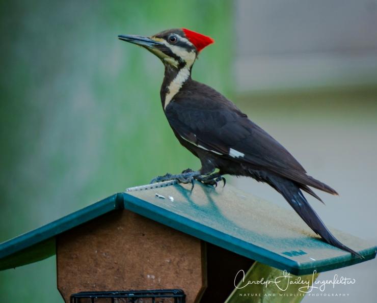 2018_06_03__Backyard birding_0100