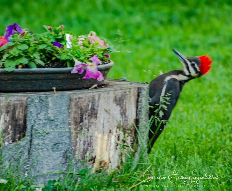2018_06_03__Backyard birding_0104
