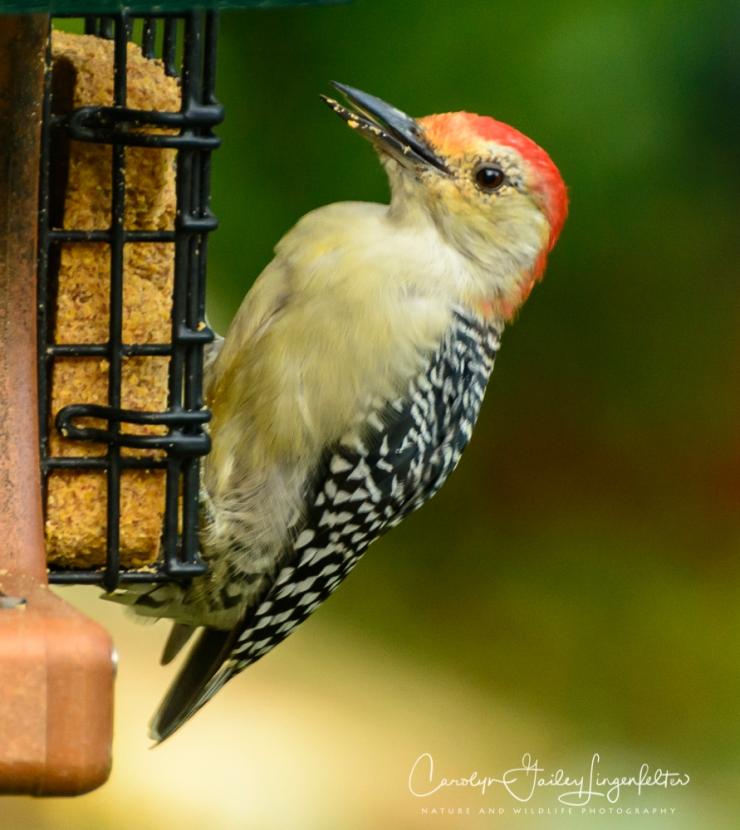 2018_08_30__Backyard birding_0009