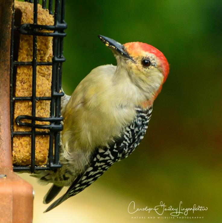 2018_08_30__Backyard birding_0010