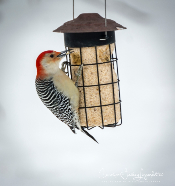 2019_01_28__backyardbirding_0008