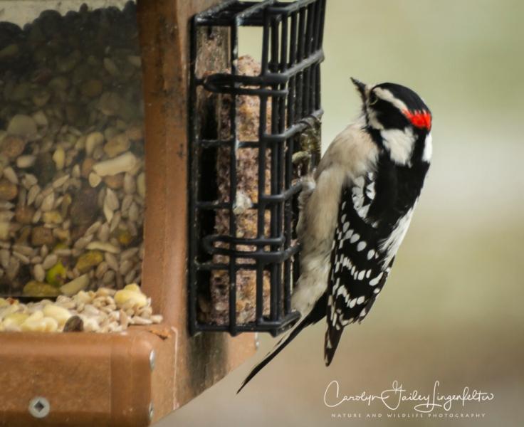 2019_02_13__Backyard birding_0009