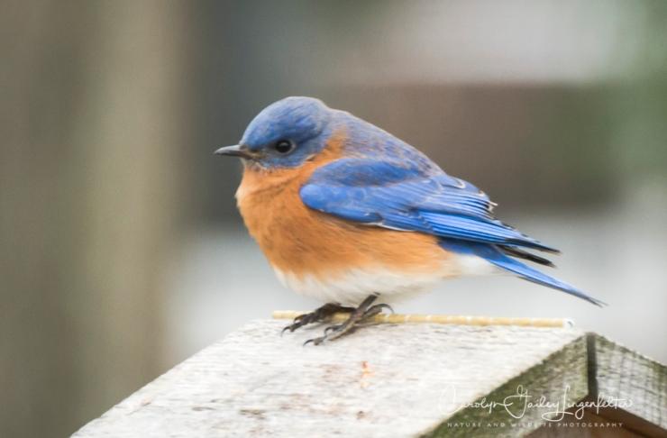 2019_02_14__Backyard birding_0033