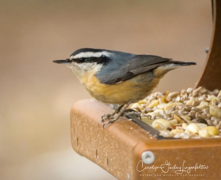 2019_02_14__Backyard birding_0077