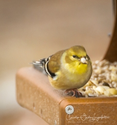 Another goldfinch