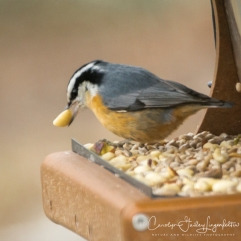Red-breasted nuthatch with his lunch