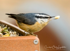 Another of the red-breasted nuthatch