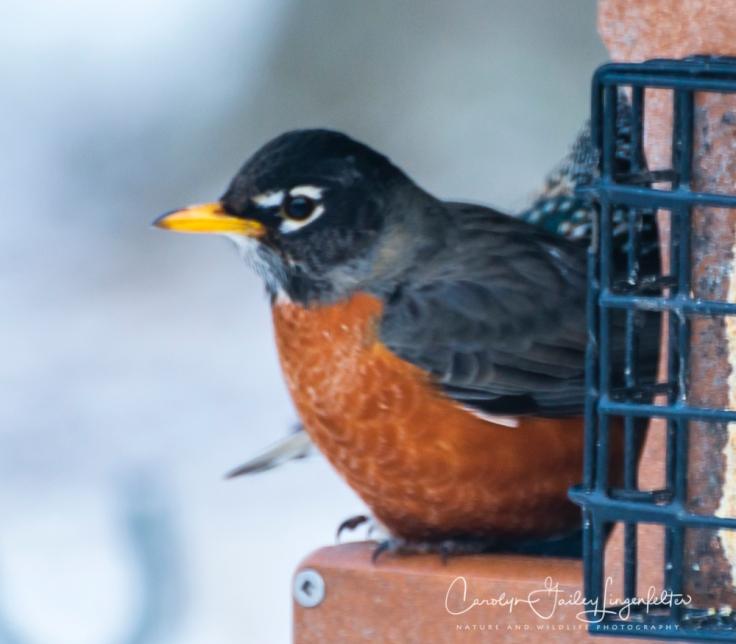 2019_03_04__Backyard birding_0054