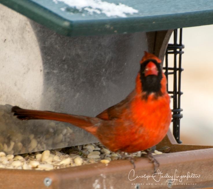 2019_03_04__Backyard birding_0056