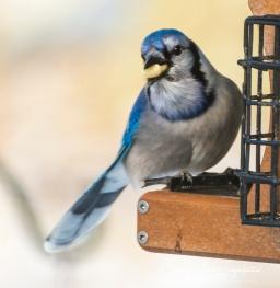 2019_03_04__Backyard birding_0060