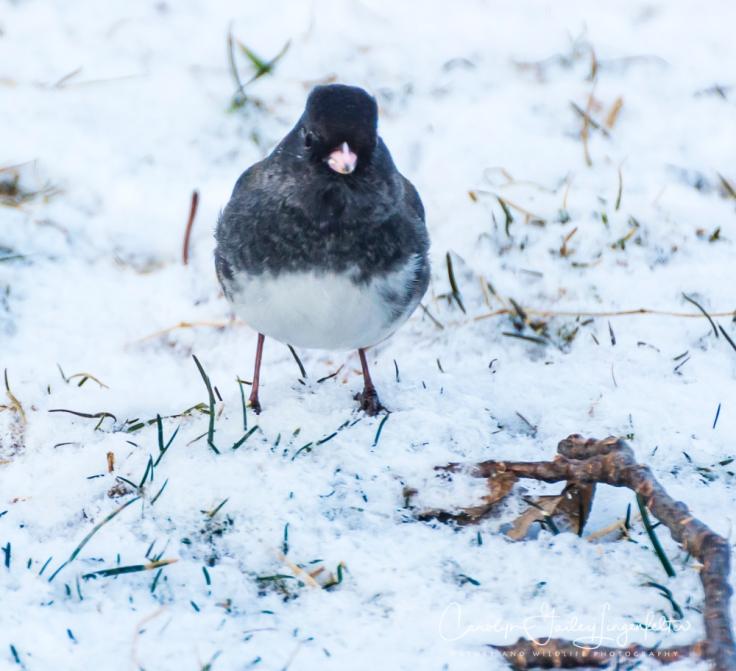 2019_03_04__Backyard birding_0063