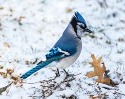 2019_03_04__Backyard birding_0067