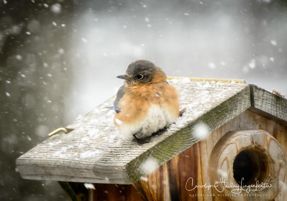 2019_03_05__Backyard birding_0025