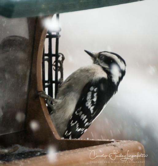 2019_03_05__Backyard birding_0030