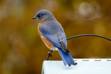 Bluebird on top of the mealworm station.